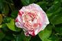 Róże dwukolorowe
