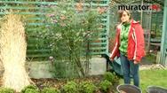 Zima w ogrodzie. Zabezpieczenie róż na zimę